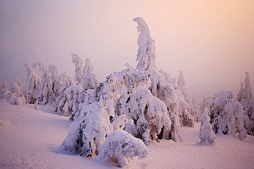"""Brockenhexen"", so-called Brocken witches, snow-covered trees on the Brocken mountain at sunset, Harz, Saxony-Anhalt, Germany"