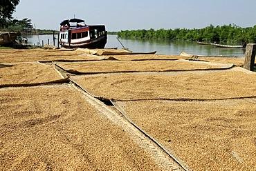 Rice drying in the sun, Mrauk-U, Burma, also called Myanmar, Southeast Asia