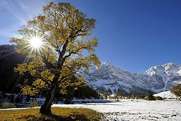 Sycamore Maple (Acer pseudoplatanus) with autumnal foliage, backlit, in front of snow-covered mountains, Ahornboden, Eng, Vorderriss, Tirol, Austria, Europe