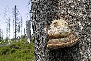 Fungus on a dead spruce infested by bark beetles on Mt Lusen in the Bavarian Forest National Park near Spiegelau, Bavaria, Germany, Europe