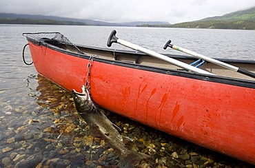 Fisherman's catch, trophy Lake Trout (Salvelinus namaycush), on a stringer, red canoe, Big Salmon Lake, Yukon Territory, Canada, North America