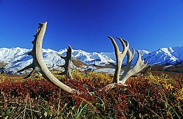 Reindeer or Caribou antlers in the tundra, Alaska Range at back, Denali National Park, Alaska, USA