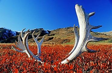 Reindeer or Caribou antlers in Denali National Park, Alaska, USA