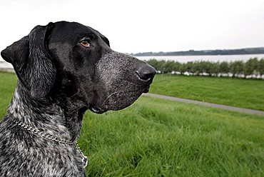 German short-haired dog enjoying the view at the bike at Borstel, Stade, Schleswig-Holstein, Germany