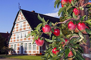 Ripe Red Apples (Malus x domestica), apple tree in front of an historic timber framed farmhouse, Altes Land orchard area, Lower Saxony, Germany, Europe