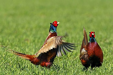 Common Pheasants (Phasianus colchicus) on a cornfield during mating time