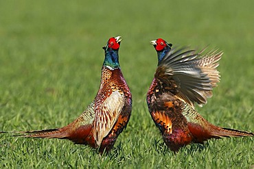 Fighting Pheasants (Phasianus colchicus) on a cornfield during mating time