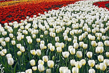 Blossoming Tulips (Tulipa spec.), different colours, tulip flowerbeds in spring