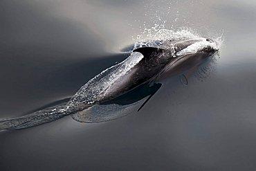 Common minke whale or northern minke whale (Balaenoptera acutorostrata), Svalbard, Spitsbergen, Norway