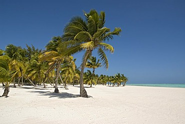 Palm-lined beach with white sand and Coconut Palm Trees (Cocos nucifera), Punta Cana, Dominican Republic, Central America