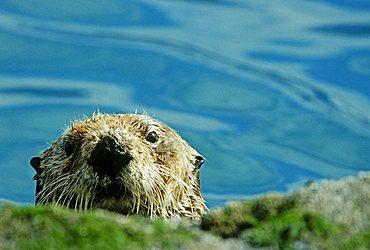 Curious sea otter, Prince William Sound, Alaska, USA