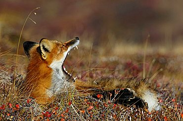 Fox (Vulpes vulpes) yawning at daybreak, Denali National Park, Alaska, USA