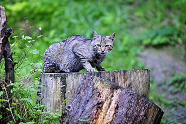 European wildcat (Felis silvestris), Switzerland, Europe