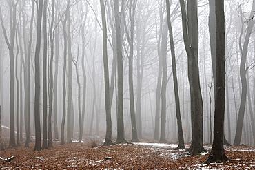 Fog-enshrouded forest in wintertime, Palatinate region, Rhineland-Palatinate, Germany, Europe