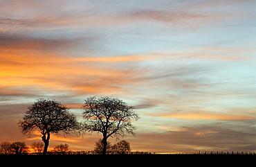 Two walnut trees set against a glowing evening sky, southern Palatinate region, Rhineland-Palatinate, Germany, Europe