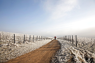 Man jogging through vineyards in winter, frost, Deutsche Weinstrasse, German Wine Route, Frankweiler, South Palatinate, Rhineland-Palatinate, German