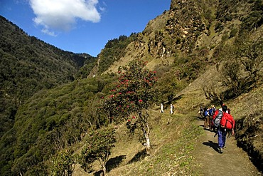 Group of people is walking on a path through flowering Rhododendron forest Annapurna Region Nepal