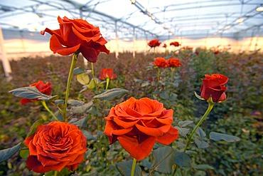 Rose Plantation Netherlands Holland