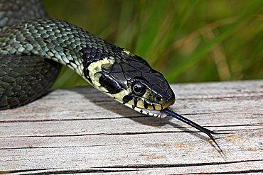 Grass Snake, Ring Snake (Natrix natrix), flickering tongue