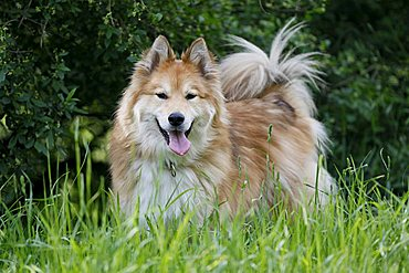 Elo-Husky mix breed