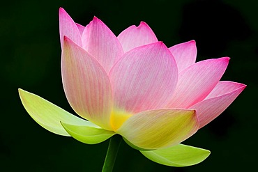 Pink Lotus (Nelumbo) flower
