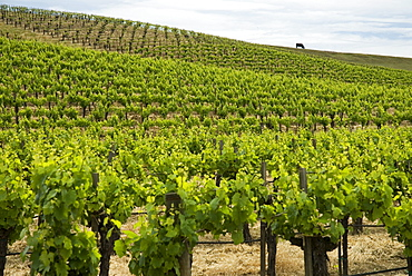 Vineyard in Napa Valley, California, USA