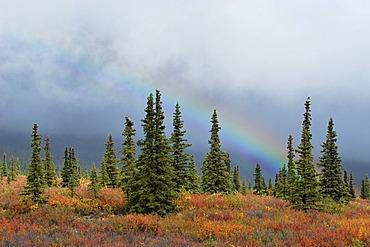 Atmospheric light , autumn colered Taiga , boreal conifer forest and rainbow , Denali Nationalpark Alaska USA