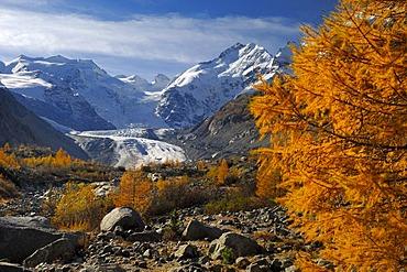 Larch trees Larix decidua) in autumn, Bernina Range, Graubunden, Switzerland