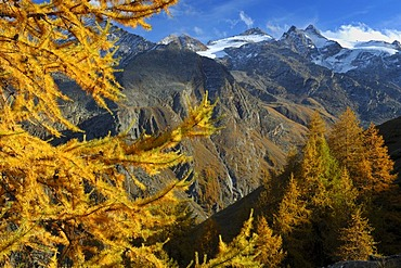 Autumnal larch (Larix decidua), National Park Gran Paradiso, Italy