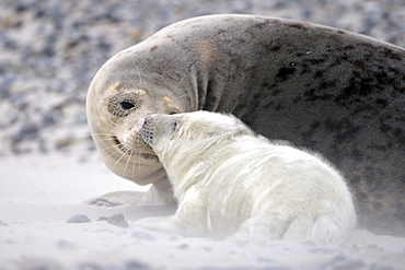 Grey Seal (Halichoerus grypus), female with young in sandstorm