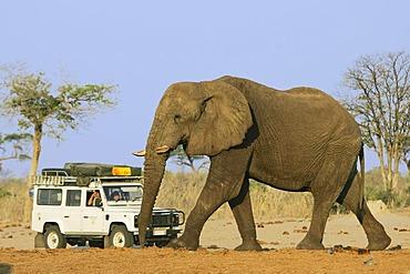 African Bush Elephant (Loxodonta africana) bull in front of an all terrain vehicle with tourists, Savuti, Chobe National Park, Botswana, Africa