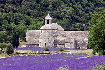 Blooming Lavender (Lavendula angustifolia) field in front of Senanque Abbey, Gordes, Provence, Southern France, France, Europe