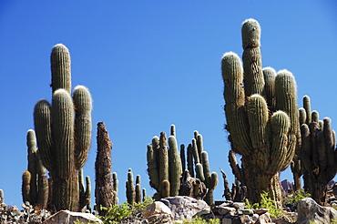 Cacti, Tilcara, Jujuy Province, northern Argentina, South America