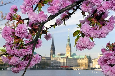 Blossoming of a tree at lake Binnenalster in Hamburg, Germany