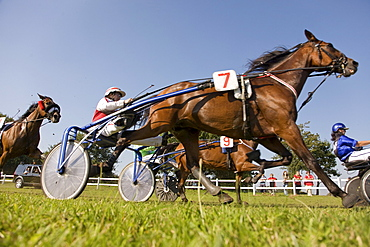 Harness racing, horse racing on a heath in Schleswig Holstein, Northern Germany