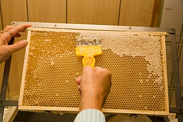 A beekeeper or apiculturist uncapping a honeycomb with an uncapping fork