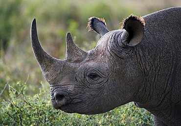 Black Rhinoceros (Diceros bicornis), Masai Mara, Kenya, Africa