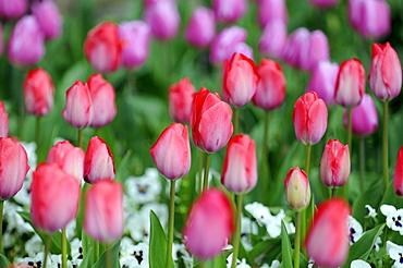 Tulip field, tulips (Tulipa), Botanical Garden, Baden-Wuerttemberg, Germany, Europe