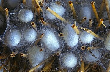 Silk Worm (Bombyx mori), cocoon