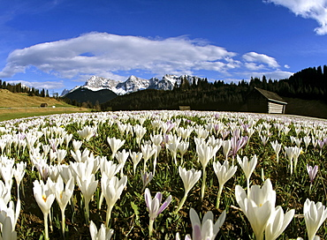 Crocus meadow near Klais in spring, Karwendel mountain range, Upper Bavaria, Germany