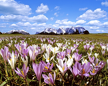 Crocus meadow near Gerold in spring, Wetterstein mountain range, Upper Bavaria, Germany