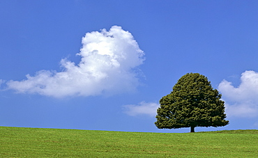 Lime tree (Tilia) on a summer meadow, cumulus cloud