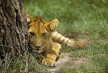 Lion cub ( Panthera leo) lying beside a tree, Masai Mara National Reserve, Kenya