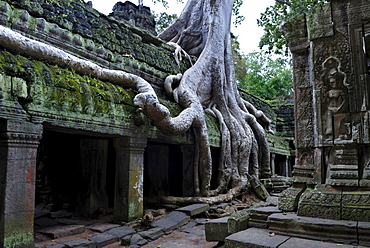 Giant roots of a tropical tree growing over the runins of Ta Prohm tempel, Angkor, Cambodia