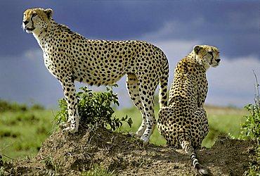 Two Cheetahs ( Acinonyx jubatus ) looking out from behind on a little hill - Masai Mara - Kenya, Africa