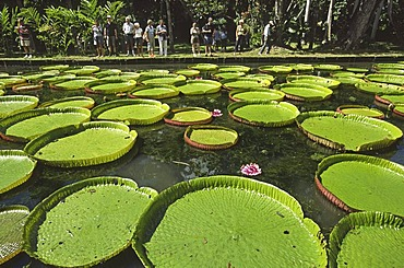 Waterlily victoria amazonica, Pamplemousses botanical garden, Mauritius