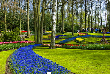 Flower garden with Grape Hyacinths (Muscari armeniacum) and Tulips (Tulipa), Keukenhof, Holland, Niederlande, Europa