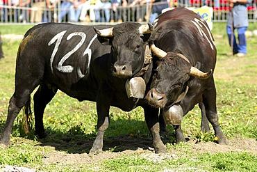 Combat of queens, Swiss cow fighting, cow fighting arena Aproz, Valais, Switzerland