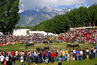 Swiss cow fighting, cow fighting arena Aproz, Valais, Switzerland