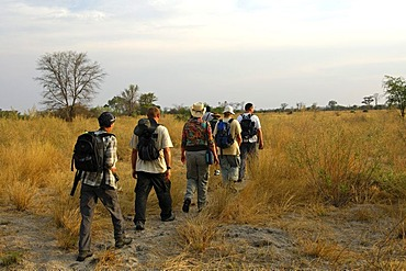 Stalking in the African savannah, Botswana